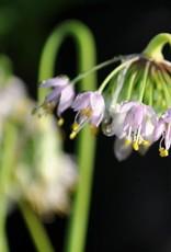 Allium cernuum Onion, Nodding pink, #1