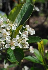 Nativar Shrub Aronia arb. Brilliantissima  Chokeberry, #3