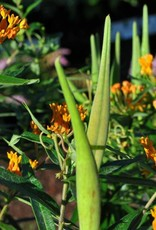 Asclepias tube. Butterfly Weed, qt