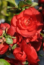 Chaenomeles spec. Scarlet Storm Quince, Double Take Scarlet Storm, #3