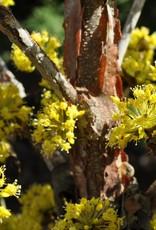 Cornus officinalis Kintoki Dogwood - Japanese Cornel Kintoki, #7