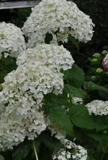 Hydrangea arbor. Abetwo Hydrangea - Smooth, Incrediball, #3