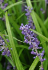 Liriope muscari Big Blue Lilyturf, Big Blue, #1