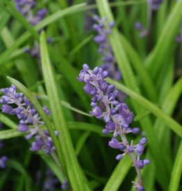 Liriope muscari Big Blue Lilyturf, Big Blue, #1
