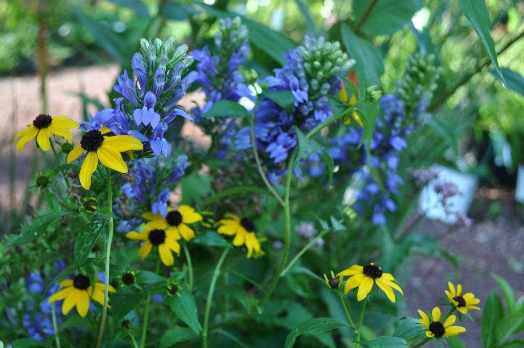 Lobelia siphilitica Cardinal Flower, Great Blue, #1