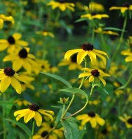 Rudbeckia triloba Brown-Eyed Susan, #1