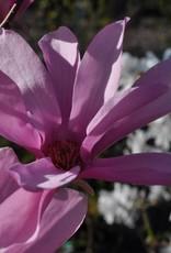 Magnolia kobus Ann Magnolia - Kobus, Ann, #3