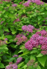 Spiraea yan Spirea, Double Play Gold, #3