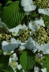 Viburnum p.t. Mariesii Viburnum - Doublefile, Mariesii, #3