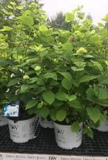 Nativar Shrub Hydrangea arborescens White Dome, Smooth Hydrangea #3