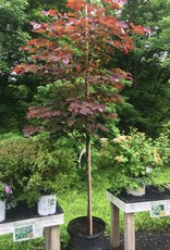 Cercis can. Forest Pansy Redbud - Eastern, Forest Pansy, #15