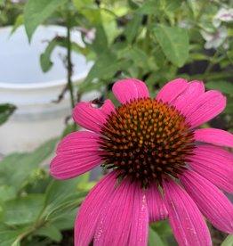 Echinacea pur. Ruby Star Coneflower, Ruby Star, #1