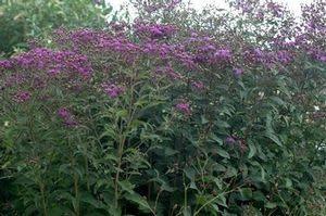 Vernonia glauca Ironweed - Upland, #1