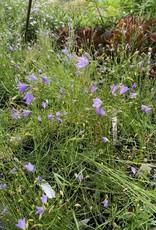 Campanula rotundifolia Harebell, #1