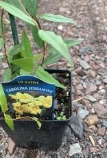 Gelsemium sempervirens 'Margarita', Carolina Jessamine #QT