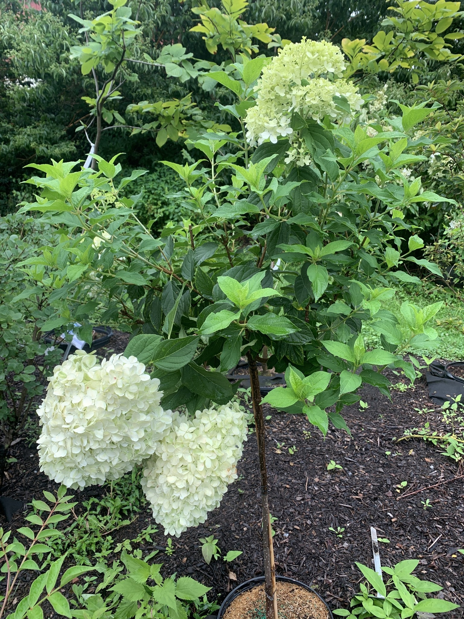 Hydrangea panic. Limelight Hydrangea - Hardy, Limelight, #7 tree Form
