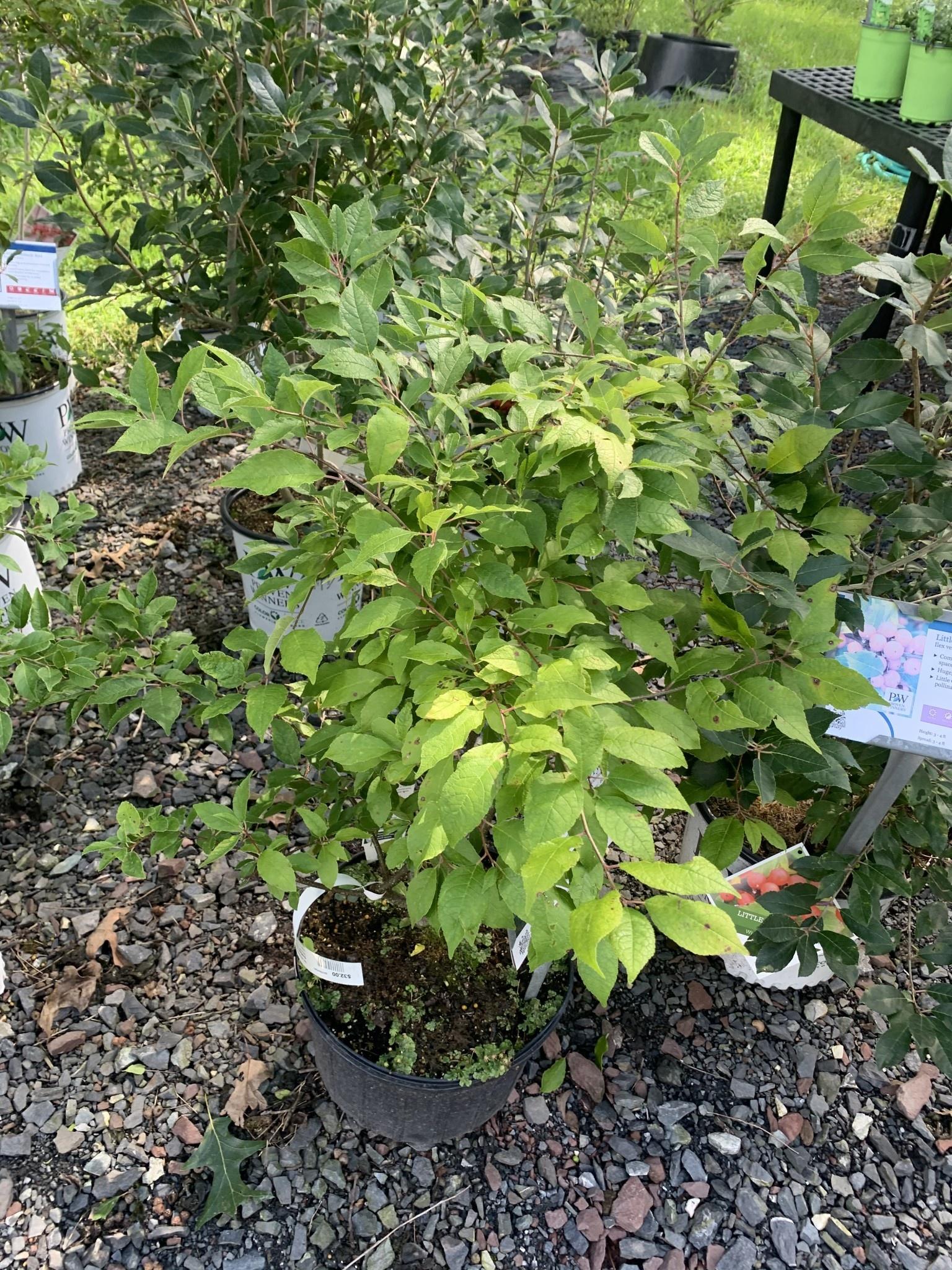 Ilex vert. Southern Gentleman Holly - Winterberry, Southern Gentleman Pollinator, #3