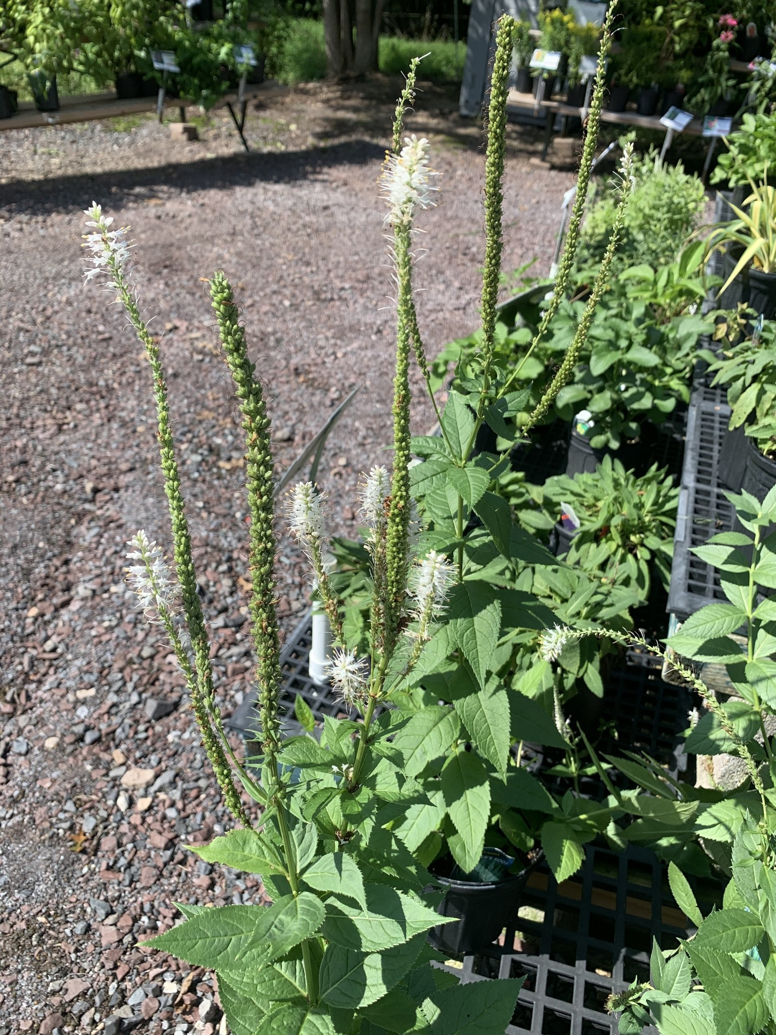 Veronicastrum vir. Alba Culver's Root, #1