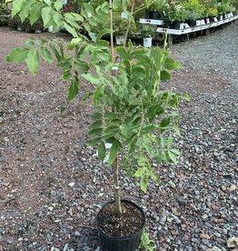 Carya  illinoinensis Cultivars- Grafted