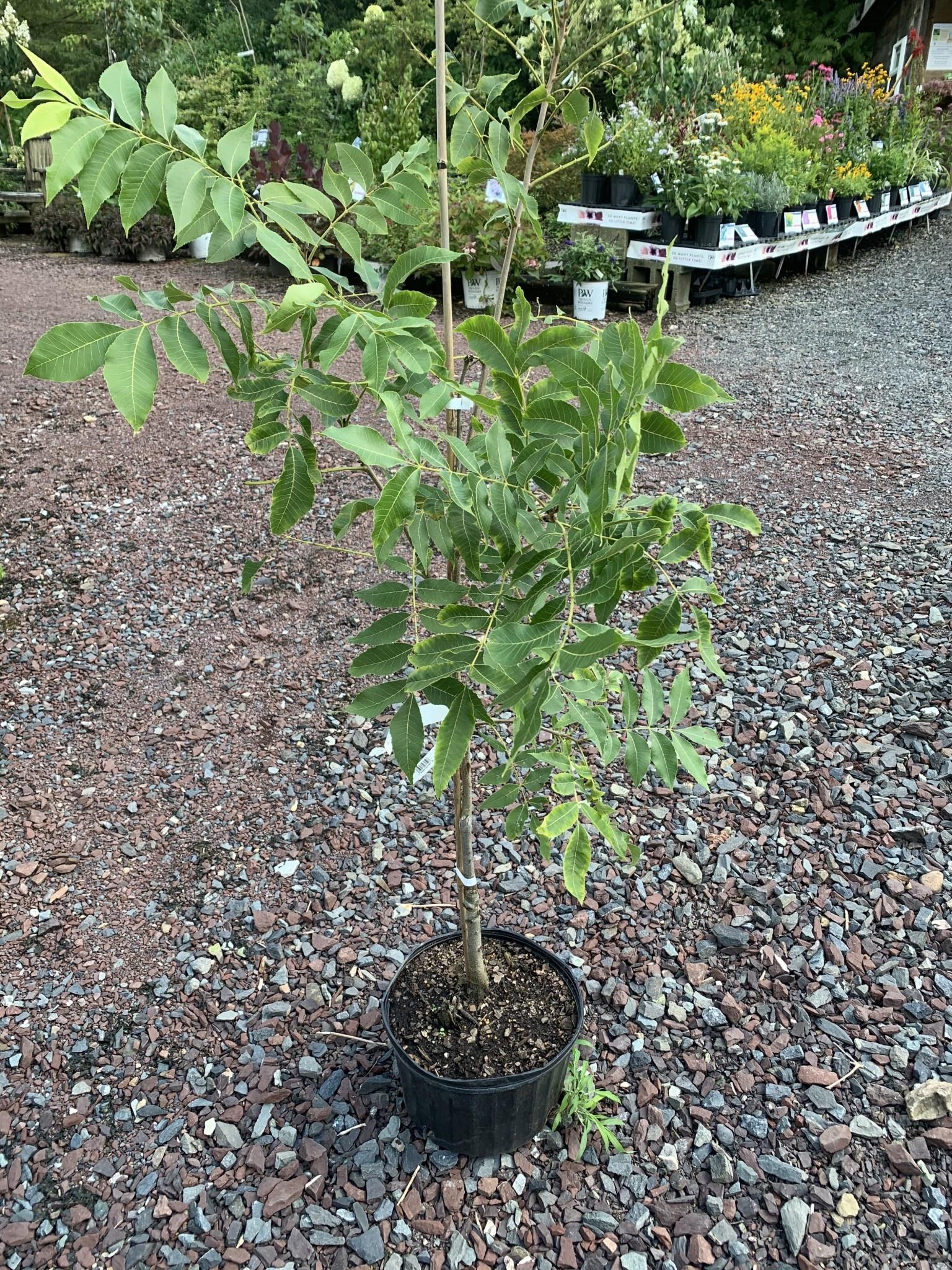 Carya  illinoinensis Cultivars- Pecans Grafted Cultivars