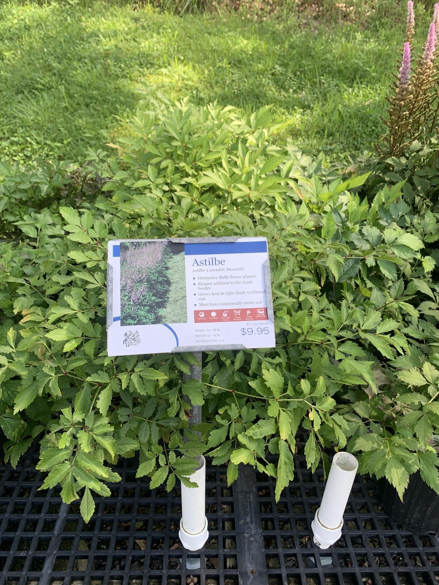 New Astilbe a. Hyacinth, False Spirea #1