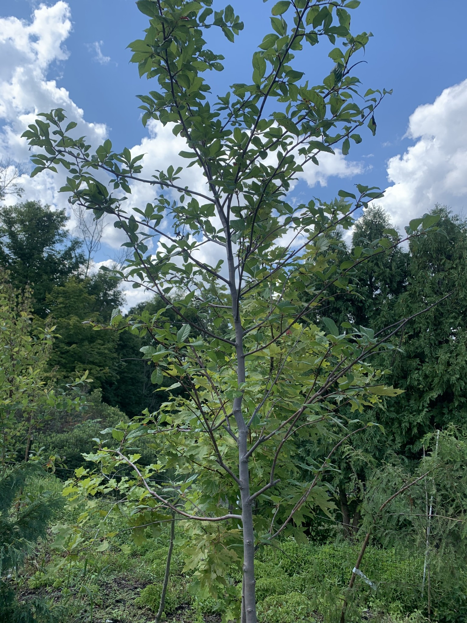 Native Tree Nyssa sylvatica Black Gum, #15