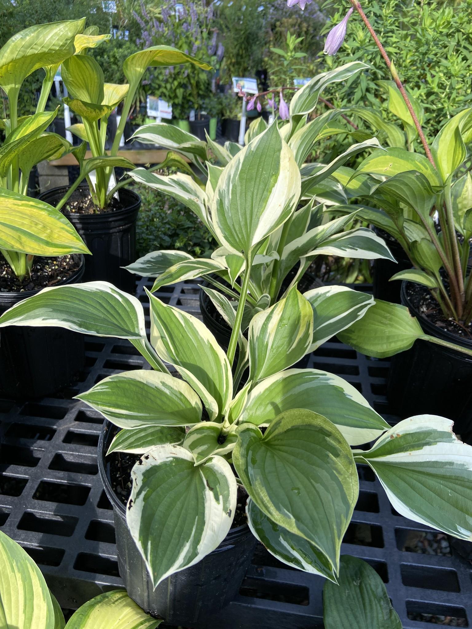 Hosta Patriot Plantain Lily, Patriot, #1