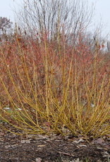 Nativar Shrub Cornus stolon. Arctic Fire Yellow, Dwarf Yellow Twig, #3