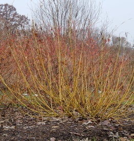 Nativar Shrub Cornus stolon. Arctic Fire Yellow, Dwarf Yellow Twig, #3