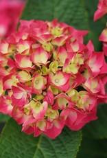 Hydrangea mac. Wee Bit Giddy Hydrangea - Mophead, #3