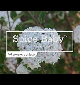 Viburnum carlesii Spice Baby, Viburnum - Korean Spice compact, #3