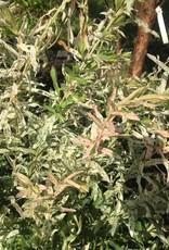 Salix int. Hakuro Nishiki, Dappled Willow #3