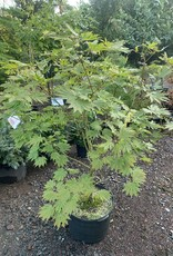Acer japonicum Aconitifolium Ed Wood  Maple - Full Moon, #10