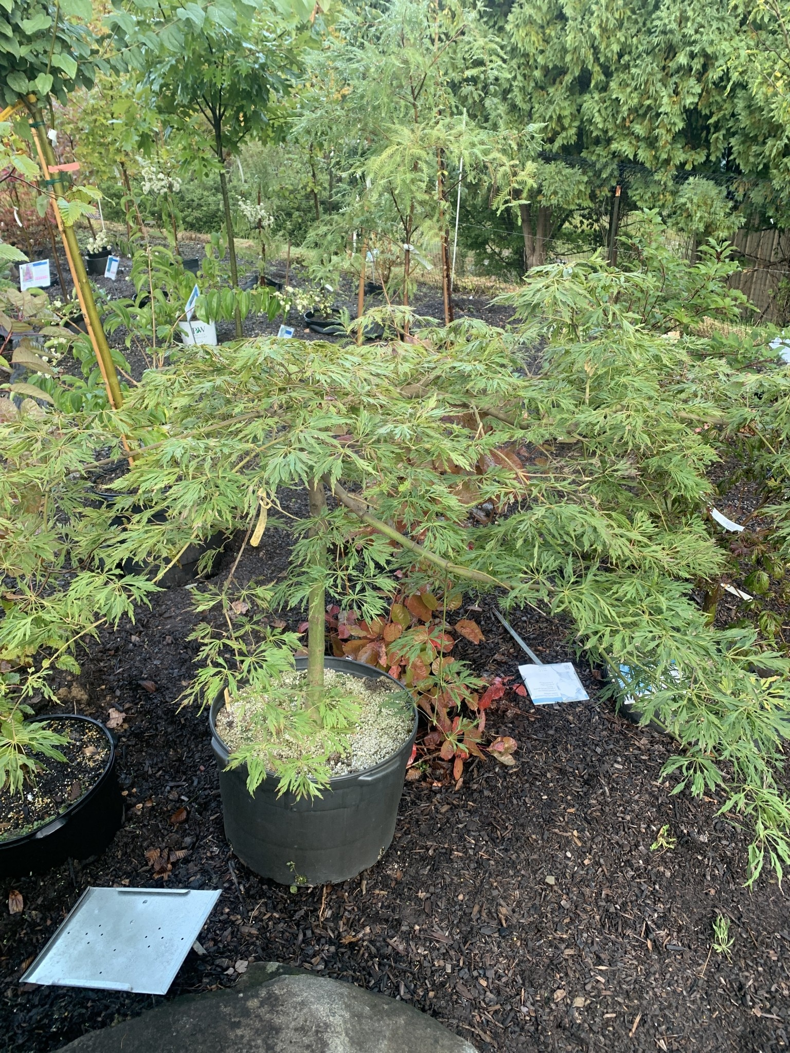 Acer japonicum Aconitifolium Green Cascade Maple - Full Moon, #10