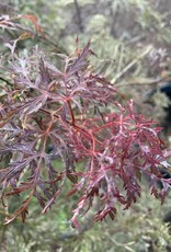Acer palm. di. Red Spider Maple - Japanese Threadleaf, #10