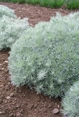 Artemisia sch. Silver Mound Wormwood, Silver Mound, #1