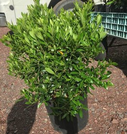 Nativar Shrub Ilex glabra Shamrock Holly - Inkberry, Shamrock, #3