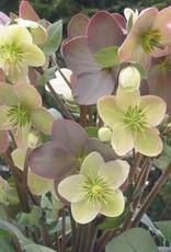 Helleborus x Candy Love Lenten Rose, #1