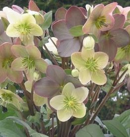 Helleborus x Candy Love Lenten Rose, #1