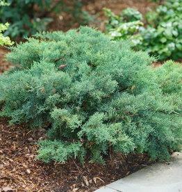 Juniperus chin. Montana Moss- Blue Juniper ,  #3