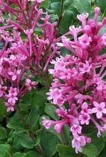 Syringa Reblooming, Bloomerang dwarf pink , #3