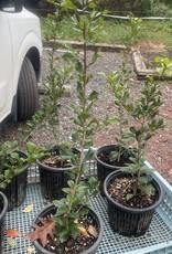 Native Tree Ilex opaca Jersey Knight Holly - American Male, #1