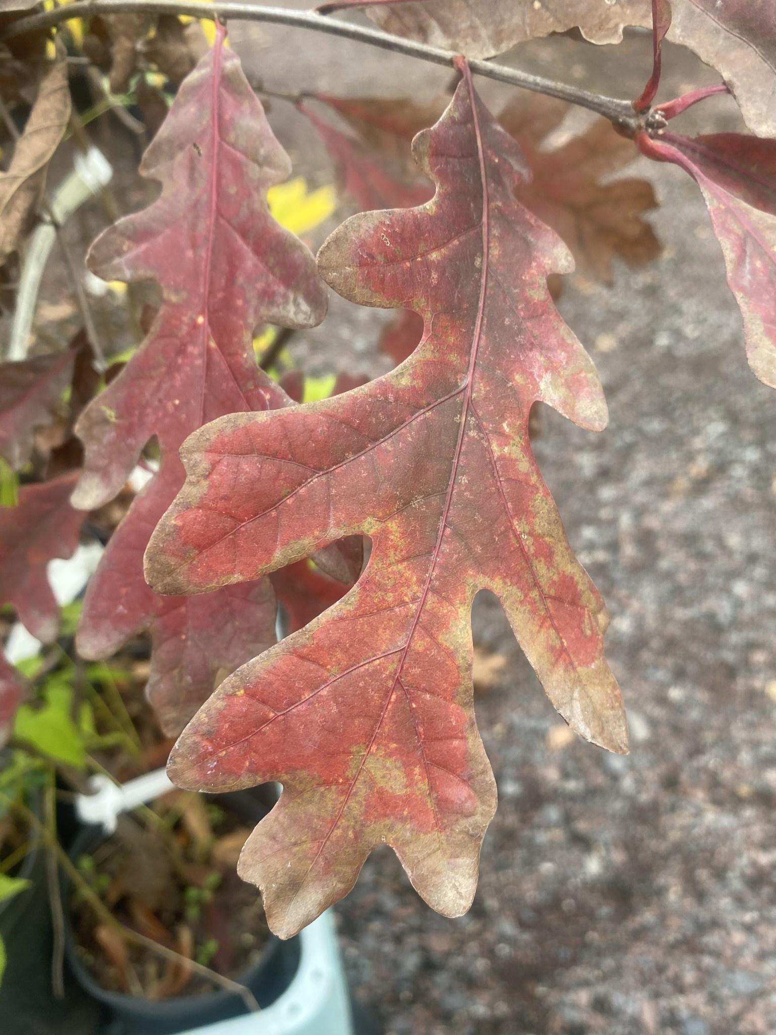 Native Tree Quercus alba Oak, White, #5