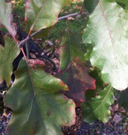Quercus Velutina, Black Oak #5