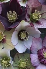 Helleborus orientalis Lenten Rose Pine Knot Mixed, #1