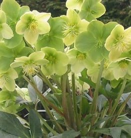 Helleborus Winter Magic Snow Love- Lenten Rose, #1