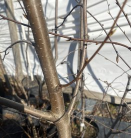 Native Tree Betula lenta, Birch, sweet #5