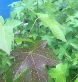 Native Tree Liquidambar styrac. Sweetgum, #5