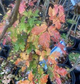 Acer griseum Maple - Paperbark, #7