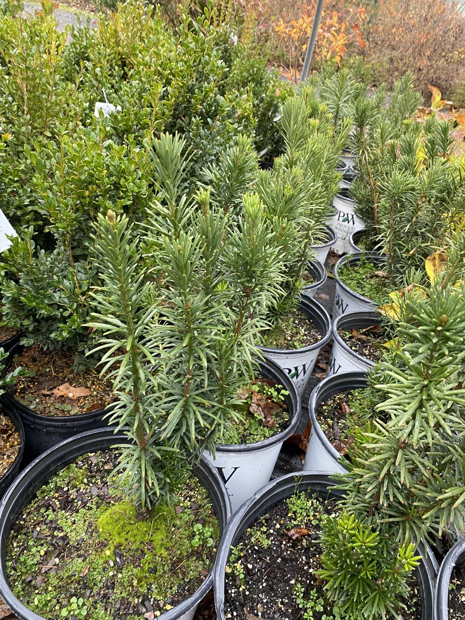 Cephalotaxus har. Fastigiata Japanese Plum Yew, Fastigiata, #3